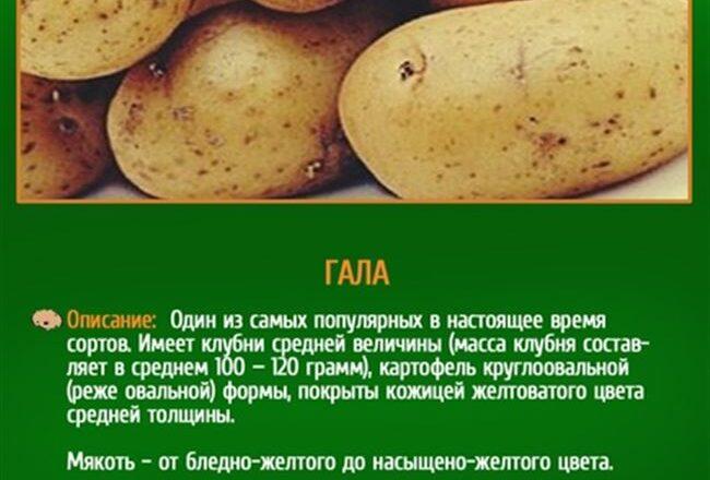 Сорта картофеля хорошо разваривающиеся