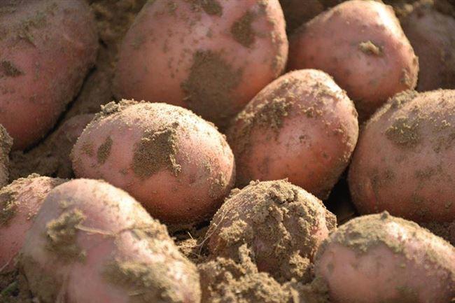 Санибель - сорт растения Картофель