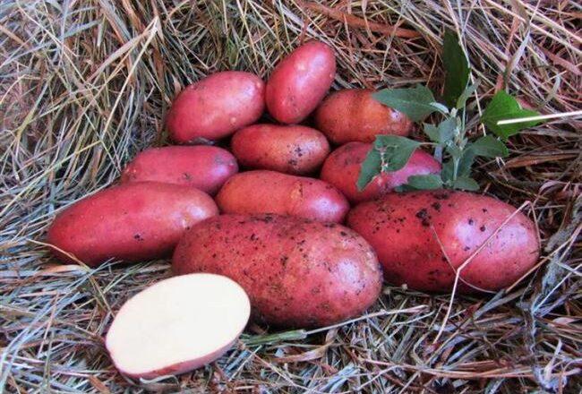Сорт картошки Сантана — выращивание пищевой культуры