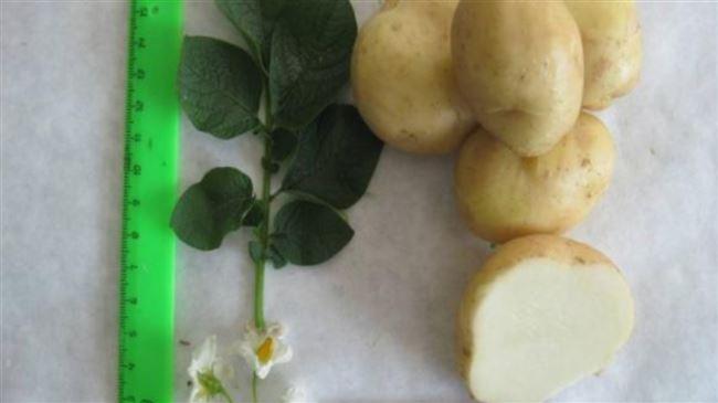 Семенной картофель Сафо