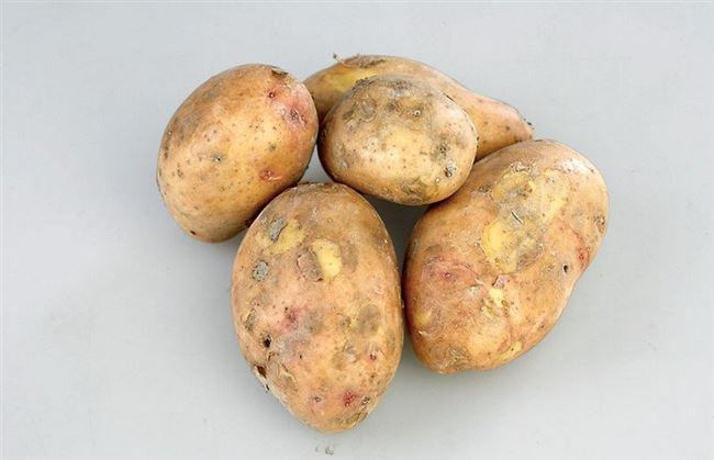 Сорт картофеля Славянка: фото и описание