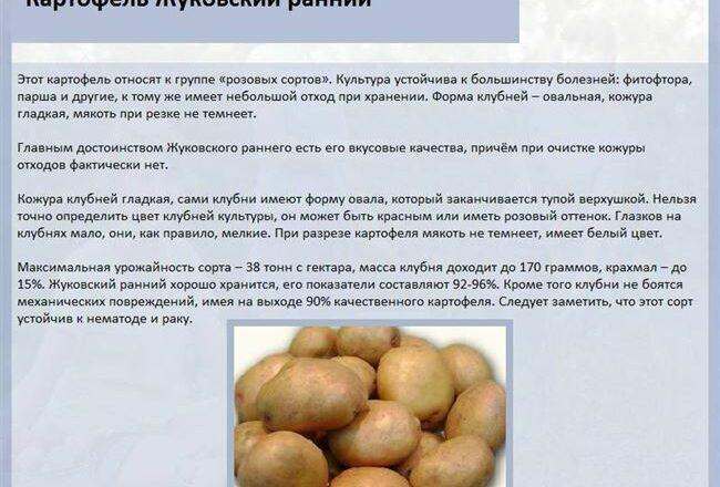 Описание картофеля сорта Солнечный — сроки созревания