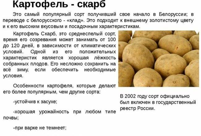 Прекрасный вкус и отличная урожайность — картофель Спиридон: описание сорта и отзывы
