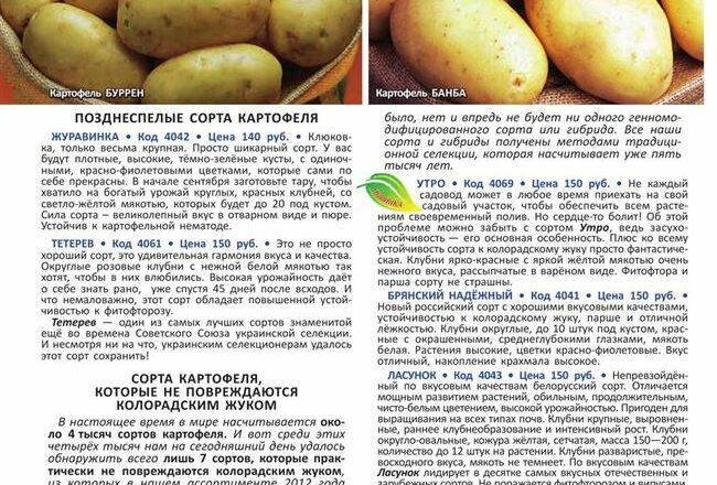 Лучший выбор любителей качественных сортов — картофель Сударыня: описание и характеристика