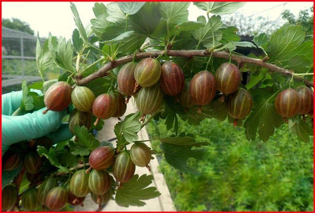Сорта крыжовника: крупноплодные и сладкие