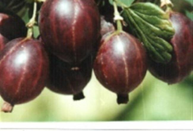 Крыжовник сорта Сливовый: описание, преимущества и недостатки, уход, урожайность, фото