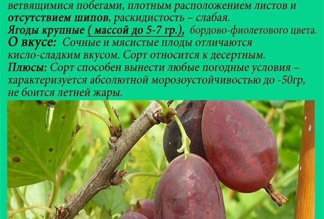 Крыжовник Черномор: характеристика и описание сорта. Крыжовник Черномор: отзывы, фото, урожайность, секреты выращивания