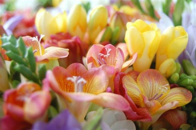 Карамель - сорт растения Фрезия