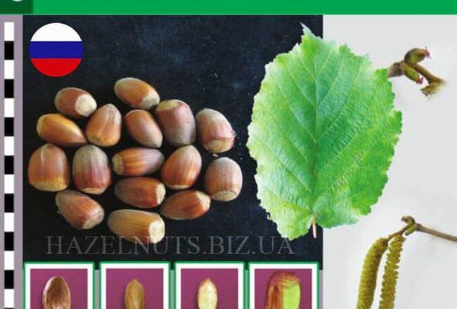 25 лучших сортов фундука с описанием и характеристиками, технология выращивания и ухода