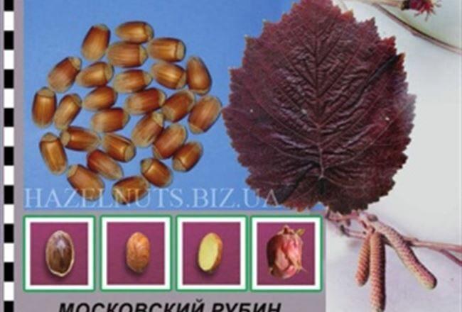 Фундук в Подмосковье – вкусно и красиво!