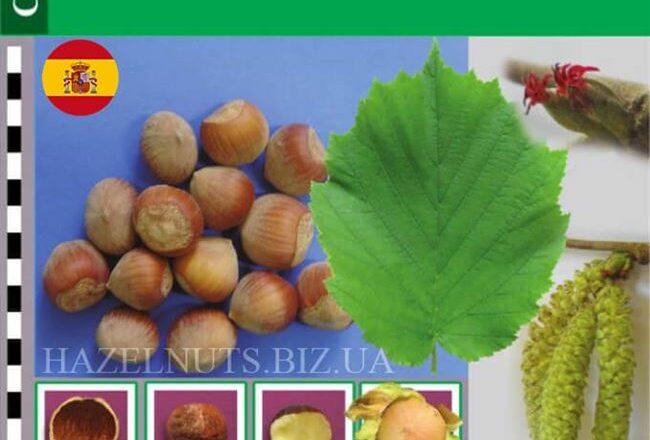 Перестройка - сорт растения Фундук