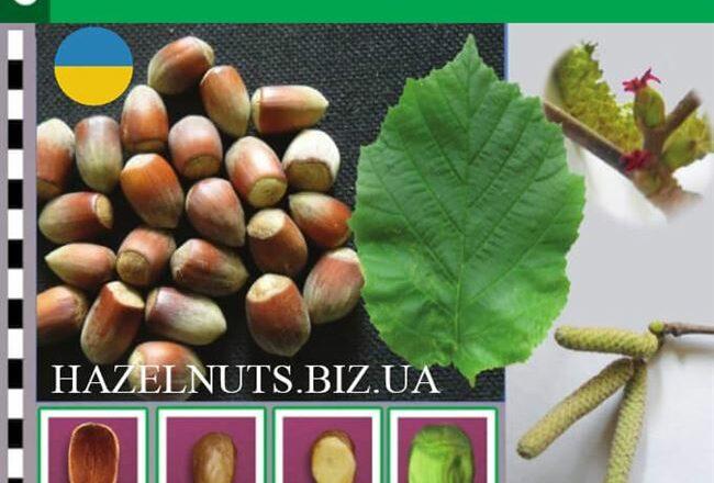 Признание - сорт растения Фундук