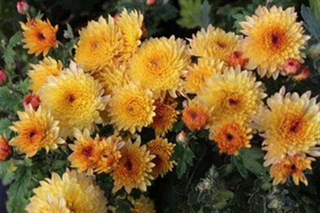 Хризантемы корейские низкорослые крупноцветковые