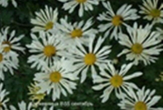 Хризантема корейская Кружевница