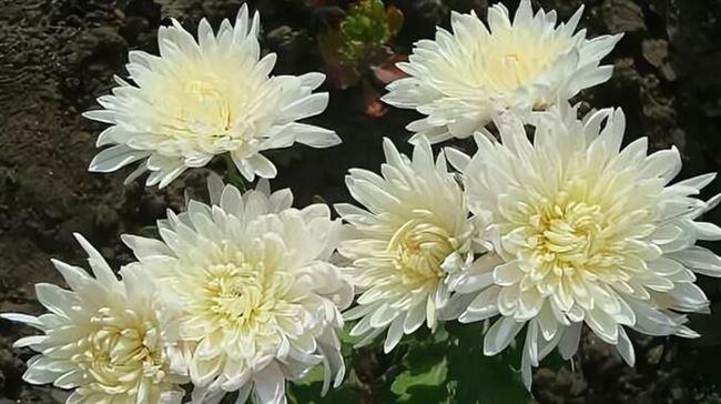 Хризантемы корейские многолетние зимостойкие