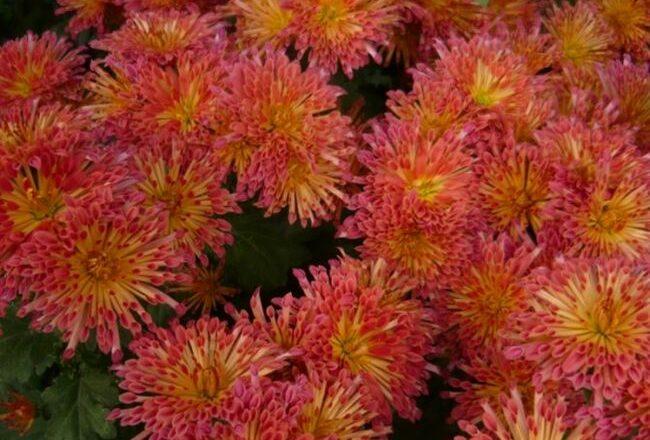 Огонек - сорт растения Хризантема