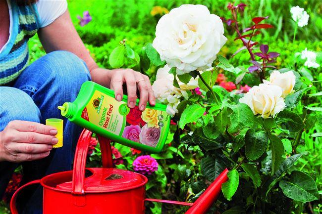 Чем подкормить лимонник китайский: весной и летом (в июне), как удобрять на даче и часто ли поливать