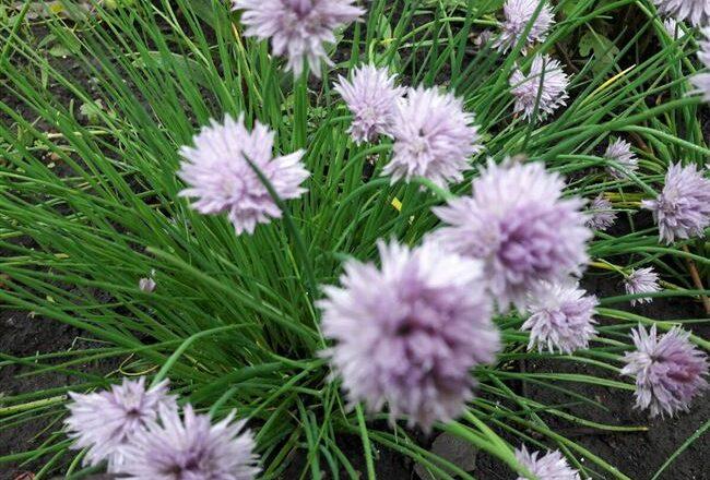Шнитт-лук: выращивание и уход за растением на участке