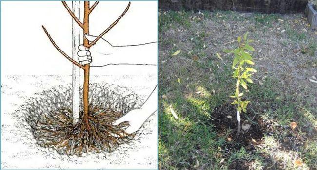 Выращиваем миндаль: нюансы и тонкости ухода